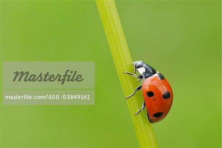 Seven Spot Ladybird on Blade of Grass, Franconia, Bavaria, Germany