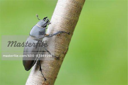 Female Lucanus Cervus Stag Beetle on Branch, Franconia, Bavaria, Germany