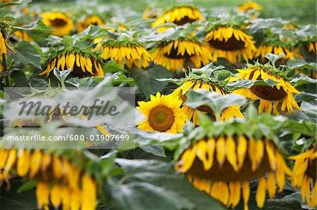 Sunflower Farm, Kauai, Hawaii, USA