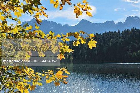 Maple Leaves in Autumn, Lake Barmsee, Karwendel Range, Kruen, Upper Bavaria, Bavaria, Germany