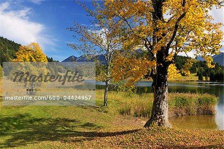 Maple Tree in Autumn, Lake Wagenbruechsee, Gerold, Werdenfelser Land, Upper Bavaria, Bavaria, Germany