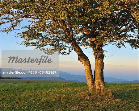 Beech Tree, Schauinsland, Black Forest, Baden-Wurttemberg, Germany