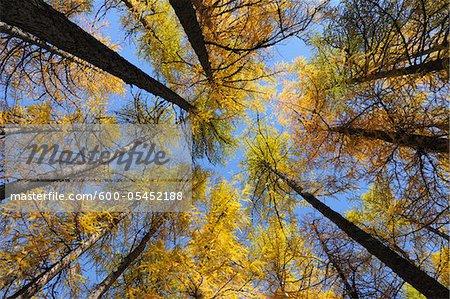Larch Trees, Lake Sils, Engadin, Canton of Graubunden, Switzerland