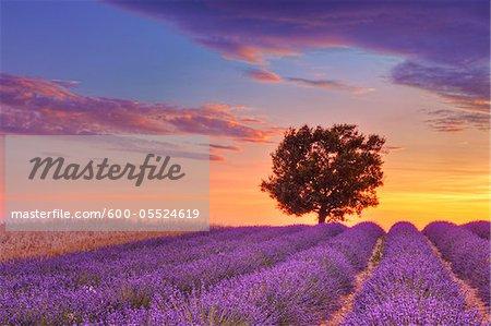 Tree in Lavender Field at Sunset, Valensole Plateau, Alpes-de-Haute-Provence, Provence-Alpes-Cote d´Azur, Provence, France