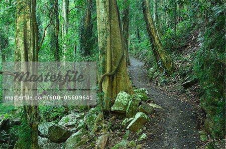 Path through Rainforest, Dorrigo National Park, New South Wales, Australia