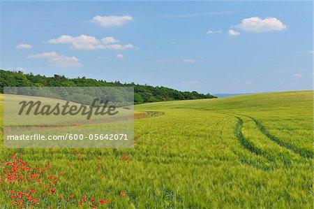 Red Poppies in Field of Grain, Blankenburg, Harz, Saxony-Anhalt, Germany