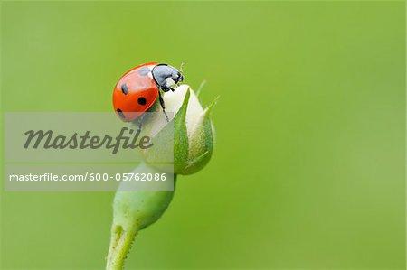 Seven spot Ladybird  (Coccinella septempunctata) at bud of wild rose. Franconia, Bavaria, Germany.