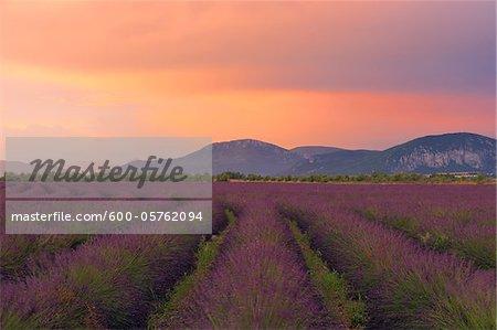 English Lavender Field at Sunset, Valensole, Valensole Plateau, Alpes-de-Haute-Provence, Provence-Alpes-Cote d´Azur, France