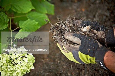 Gardener Spreading Mulch in Garden, Toronto, Ontario, Canada