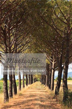 Pine Tree Lined Path, Grosseto, Tuscany, Italy