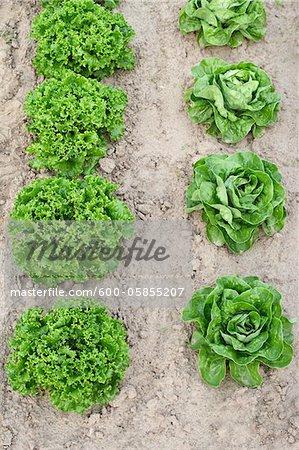 Boston and Leaf Lettuce, Fenwick, Ontario, Canada