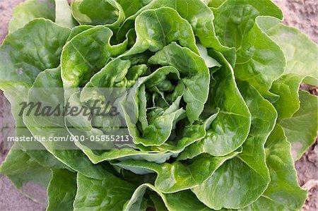 Boston Lettuce, Fenwick, Ontario, Canada