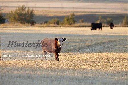 Calf in Field, Pincher Creek, Alberta, Canada