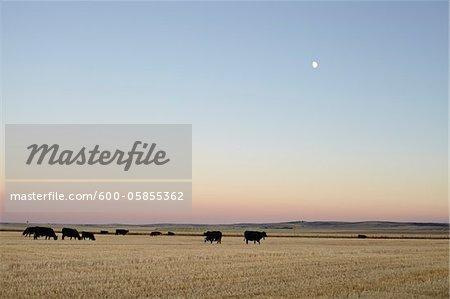 Herd of Cows in Field, Pincher Creek, Alberta, Canada