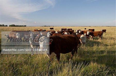 Herd of Beef Cattle in Field, Alberta, Canada