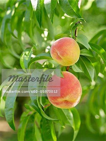 Peaches on Tree Branches, Hipple Farms, Beamsville, Ontario, Canada