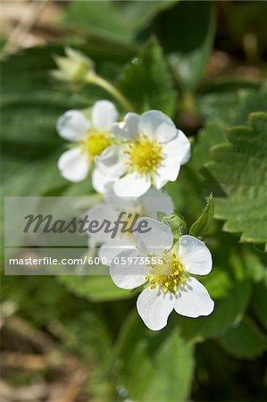 Strawberry Blossoms, DeVries Farm, Fenwick, Ontario, Canada