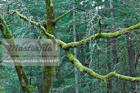 Moss on Trees, Reginald Hill, Salt Spring Island, British Columbia, Canada
