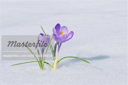 Spring Crocuses in Snow, Franconia, Bavaria, Germany