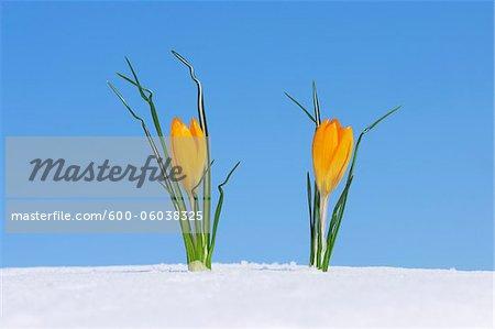 Crocus (Crocus chrysanthus / Snow Crocus) standing in snow, clear blue sky. Franconia, Bavaria, Germany.