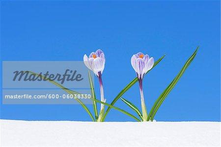 Crocus Vernus in Snow, Franconia, Bavaria, Germany