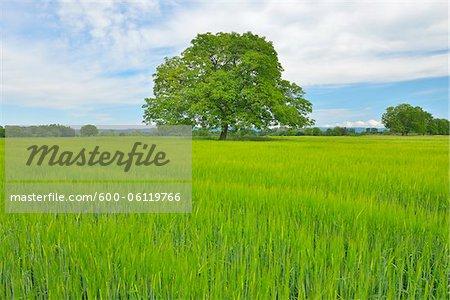 Walnut Tree in Grain Field, Taubergiessen Nature Reserve, Kappel, Rust, Baden-Wurttemberg, Germany