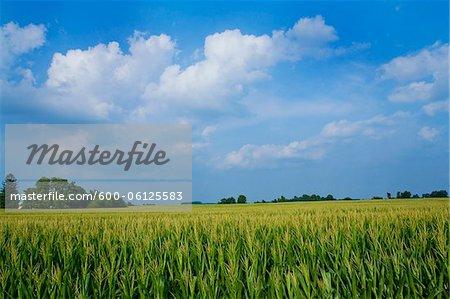 Corn Field, Millville, Indiana, USA
