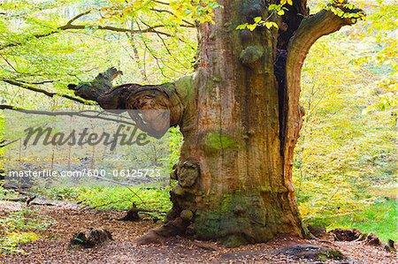 Beech Tree, Sababurg, Reinhardswald, Kassel District, Hesse, Germany