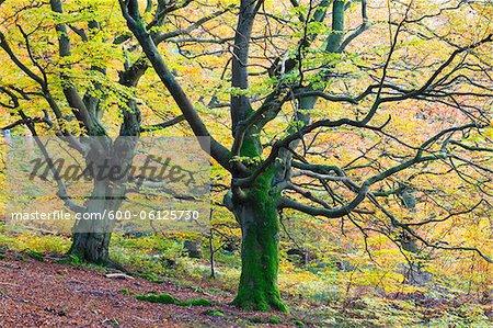 Beech Trees, Kellerwald-Edersee National Park, Hesse, Germany