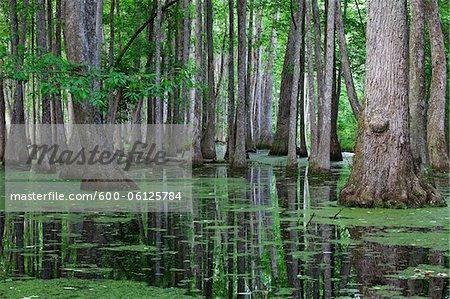 Cypress Swamp, Natchez Trace Parkway, Mississippi, USA