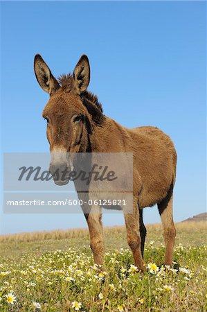 Donkey, Oia, Santorini Island, Cyclades Islands, Greek Islands, Greece