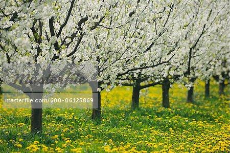 Cherry Trees, Bavaria, Germany