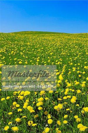 Meadow of Dandelions, Bavaria, Germany
