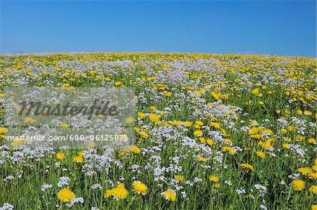 Meadow of Dandelions and Cuckoo Flowers, Bavaria, Germany