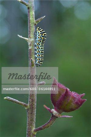 Swallowtail Caterpillar on Dictamnus Stem, Karlstadt, Franconia, Bavaria, Germany