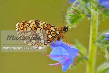 Heath Fritillary on Blueweed Blossom, Karlstadt, Franconia, Bavaria, Germany