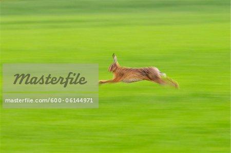 European Brown Hare Running, Hesse, Germany