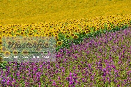 Sunflower and Mallow Field, Arnstein, Main-Spessart, Franconia, Bavaria, Germany