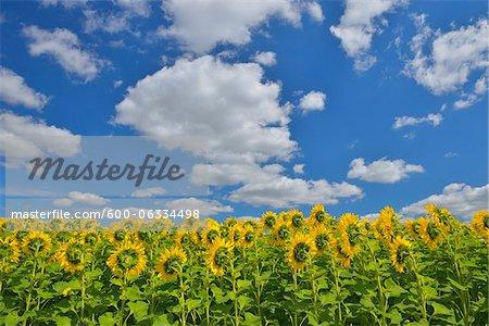 Sunflower Field, Arnstein, Main-Spessart, Franconia, Bavaria, Germany