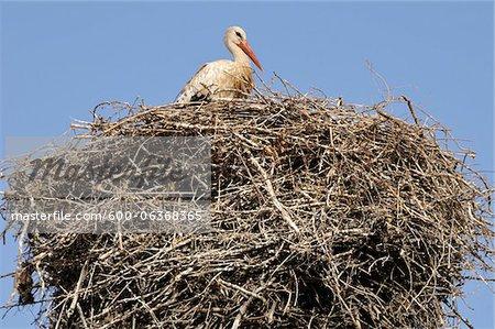 White Stork in Nest, Chellah, Morocco