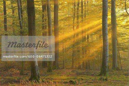 Sunbeams through Beech Forest in Autumn, Spessart, Bavaria, Germany
