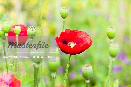 Red Poppies (Papaver Rhoeas), Costa Smeralda, Sardinia, Italy