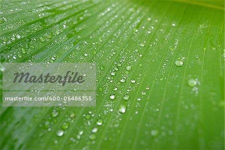 Close-up of Raindrops on Banana Plant (Musa) Leaf, Bavaria, Germany