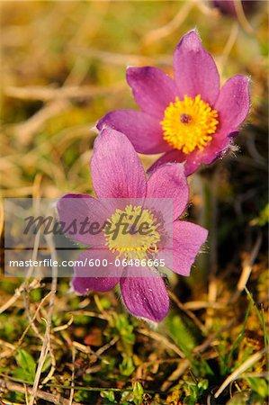 Close-Up of Pulsatilla Vulgaris, Pasque Flower, Oberpfalz, Bavaria, Germany