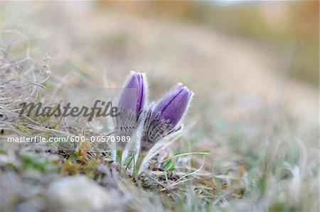 Blooms of a Pulsatilla (Pulsatilla vulgaris) in the grassland in early spring of Bavaria, Germany