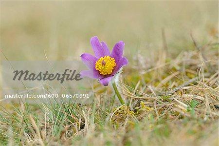 Bloom of a Pulsatilla (Pulsatilla vulgaris) in the grassland in early spring of Upper Palatinate, Bavaria, Germany, Europe.