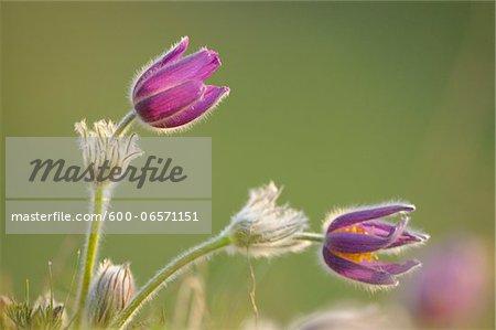 Blooms of a Pulsatilla (Pulsatilla vulgaris) in the grassland in early spring of Upper Palatinate, Bavaria, Germany