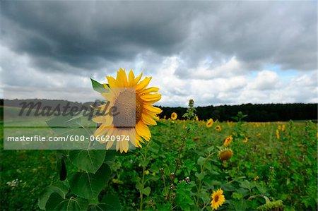 Blossom of a sunflower (Helianthus annuus), Bavaria, Germany.