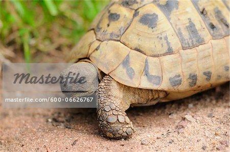 Hermann's tortoise (Testudo hermanni boettgeri) walking around on the floor, Bavaria, Germany.