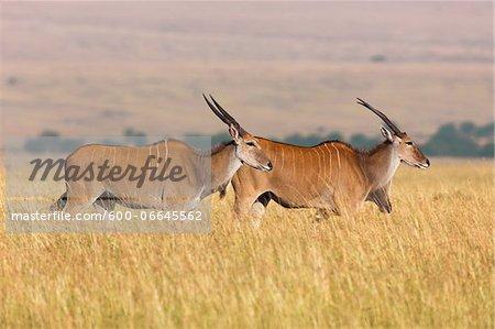 Common Elands (Taurotragus oryx) in Savannah, Maasai Mara National Reserve, Kenya